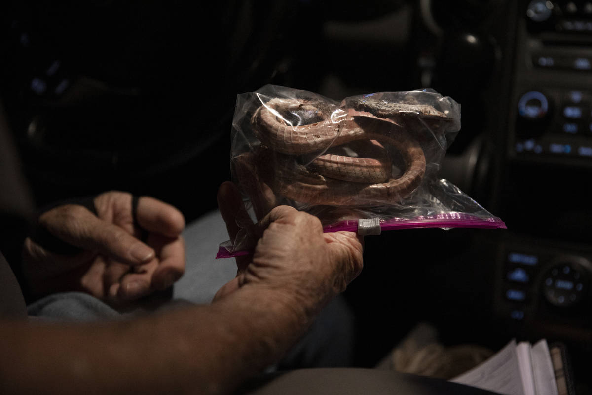 Bob McKeever bags a coach whip snake during a species survey at Red Rock Canyon National Conser ...