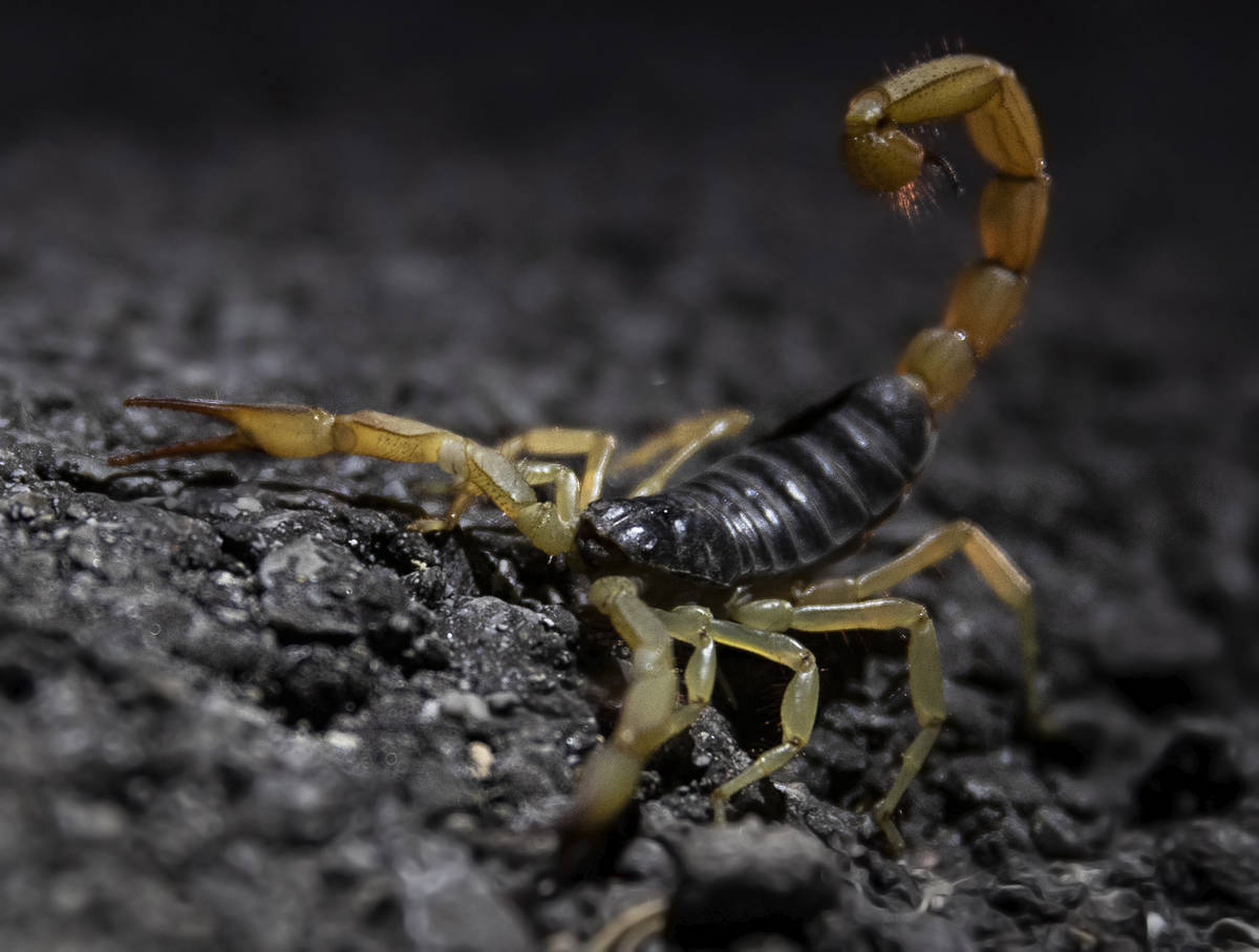A scorpion is spotted during a species survey at Red Rock Canyon National Conservation Area on ...