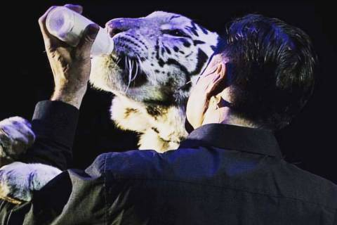 Magician Jay Owenhouse bottle-feeds Shekinah, a 10-year-old female tiger, during a show in Cali ...