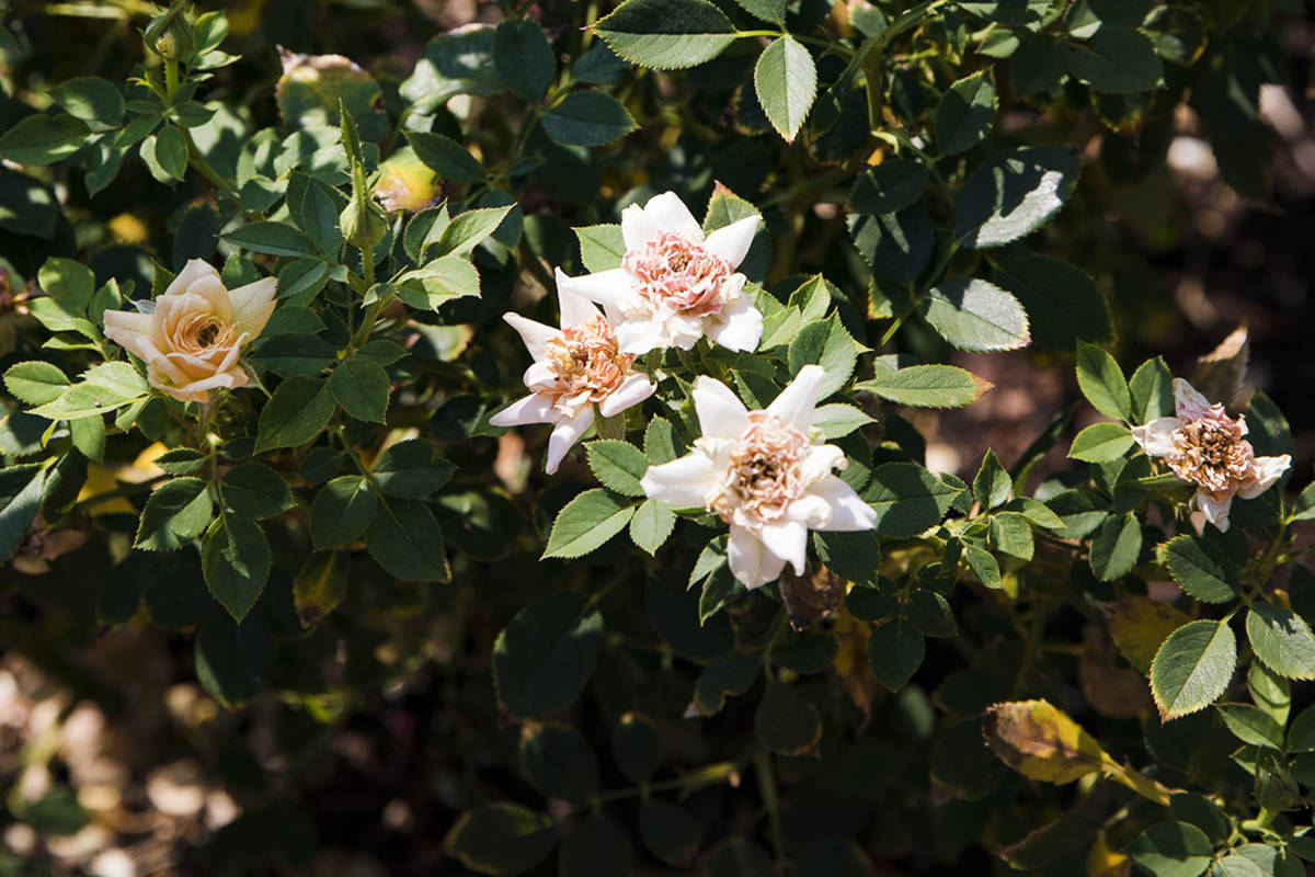 An Apricot Twist rose bush at the garden of Marie Kaplan at her home in Henderson, Tuesday, Aug ...