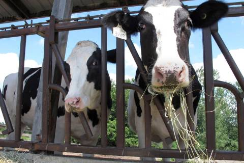 Cows on pasture at the University of Vermont dairy farm eat hay in a Thursday, July 23, 2020, f ...