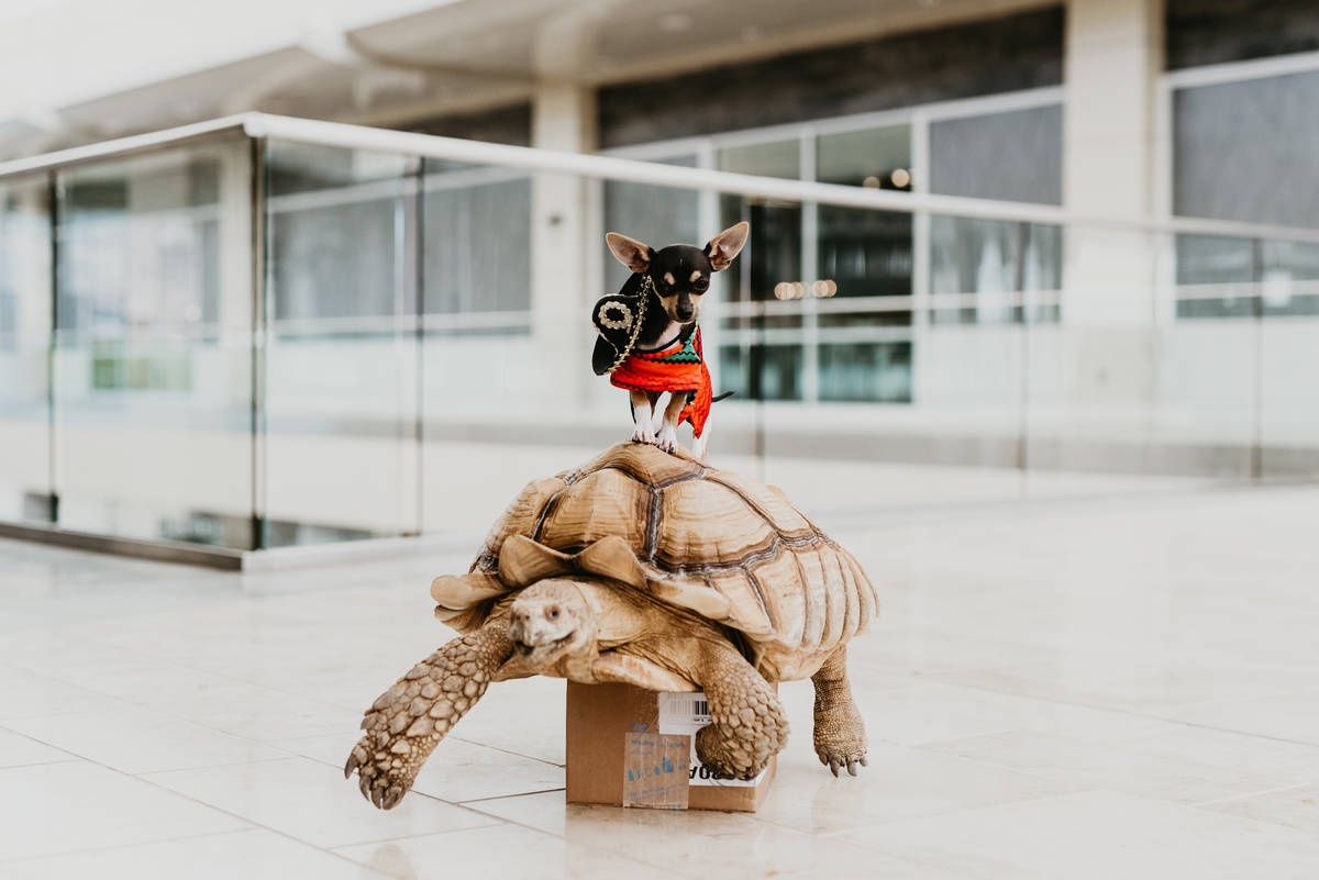 Zippy, a Sulcata Tortoise, and St. Pete, a Chihuahua, teamed up to represent May in the 2020 Do ...