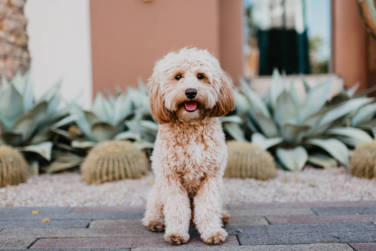 Poppy Darling, 2, was Miss January in the 2020 Dogs of Downtown Summerlin calendar.
