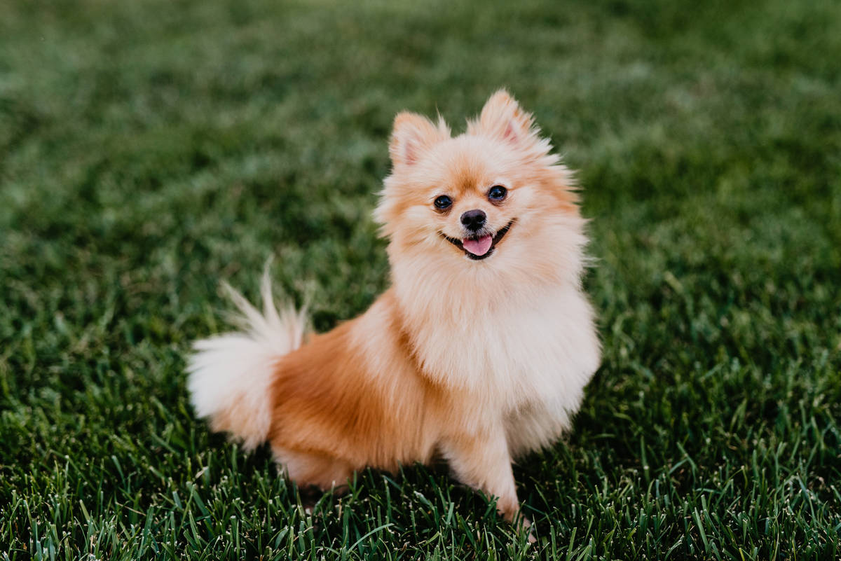 Skai, a 3-year-old Pomeranian, celebrated July in the 2020 Dogs of Downtown Summerlin calendar.
