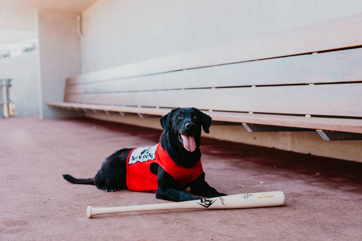 Finn the Bat Dog, a 6-year-old Labrador retriever, is known among Southern Nevadans for dashing ...