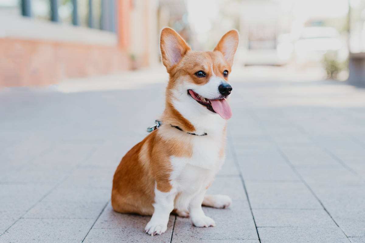 Moose, a year-old Corgi, represented February in the 2020 Dogs of Downtown Summerlin calendar.