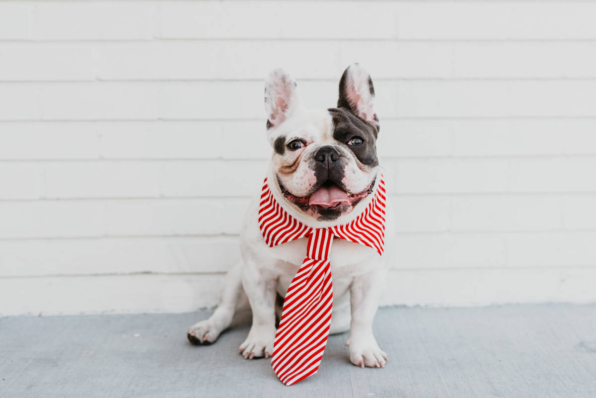 King Louis was Mr. March in the 2020 Dogs of Downtown Summerlin calendar. Photo by Bethany Paig ...