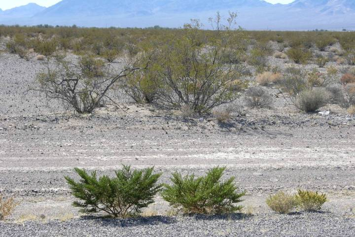 These creosote bushes were cut back by the Department of Transportation. Because they were cut ...