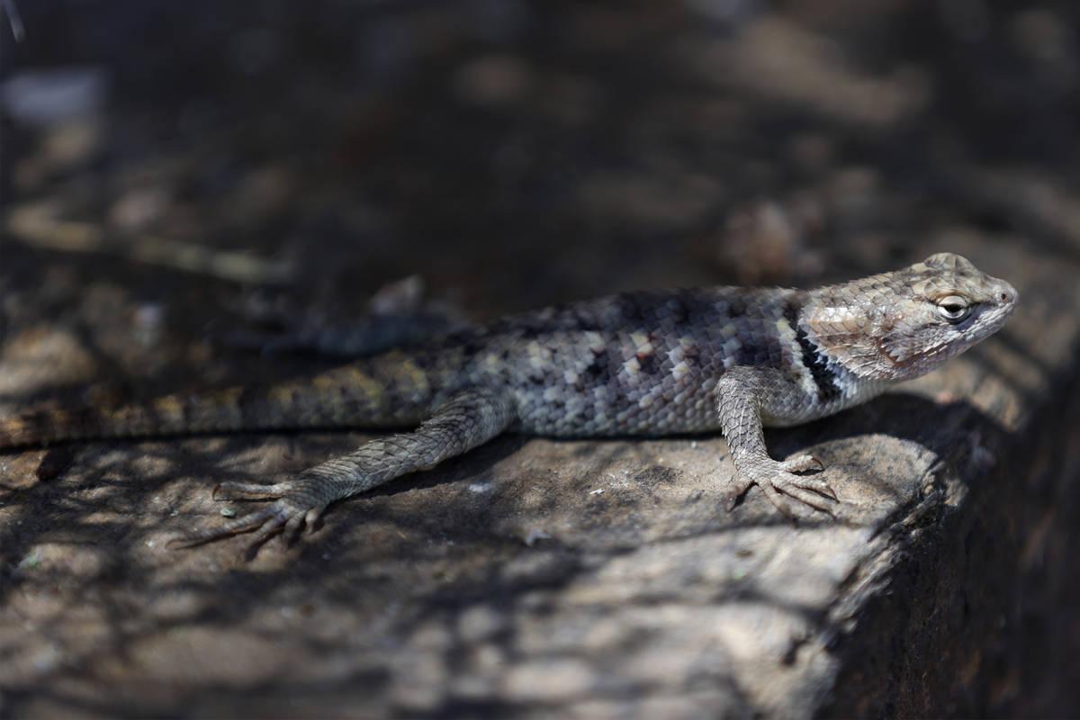 A lizard at the Desert National Wildlife Refuge in Las Vegas, Wednesday, Aug. 12, 2020. (Erik V ...