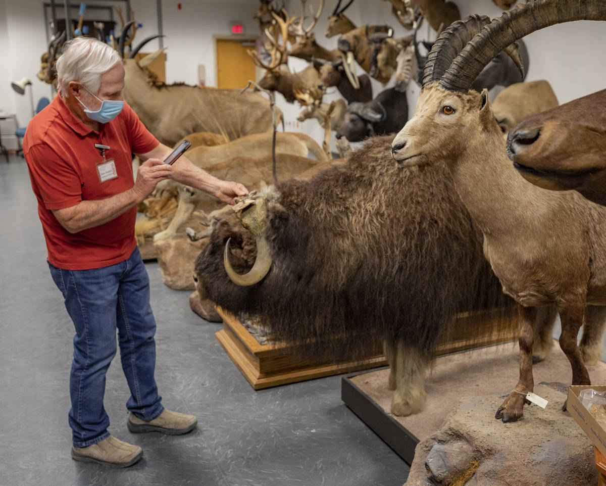 Steve Rowland, paleontologist and professor of geology at UNLV, holds a fossil up to a muskox t ...