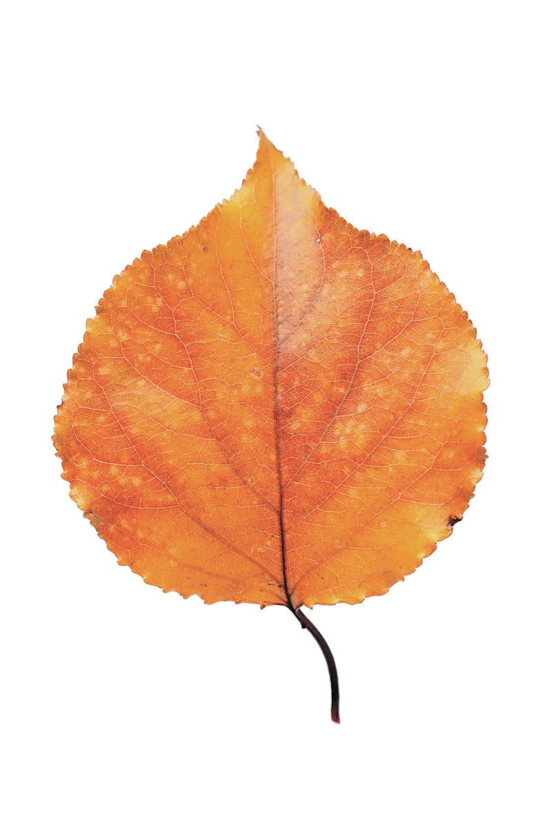 leaf isolated on white background.