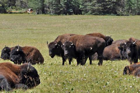 In this Aug. 26, 2010, file photo provided by the Kaibab National Forest, bison in the national ...