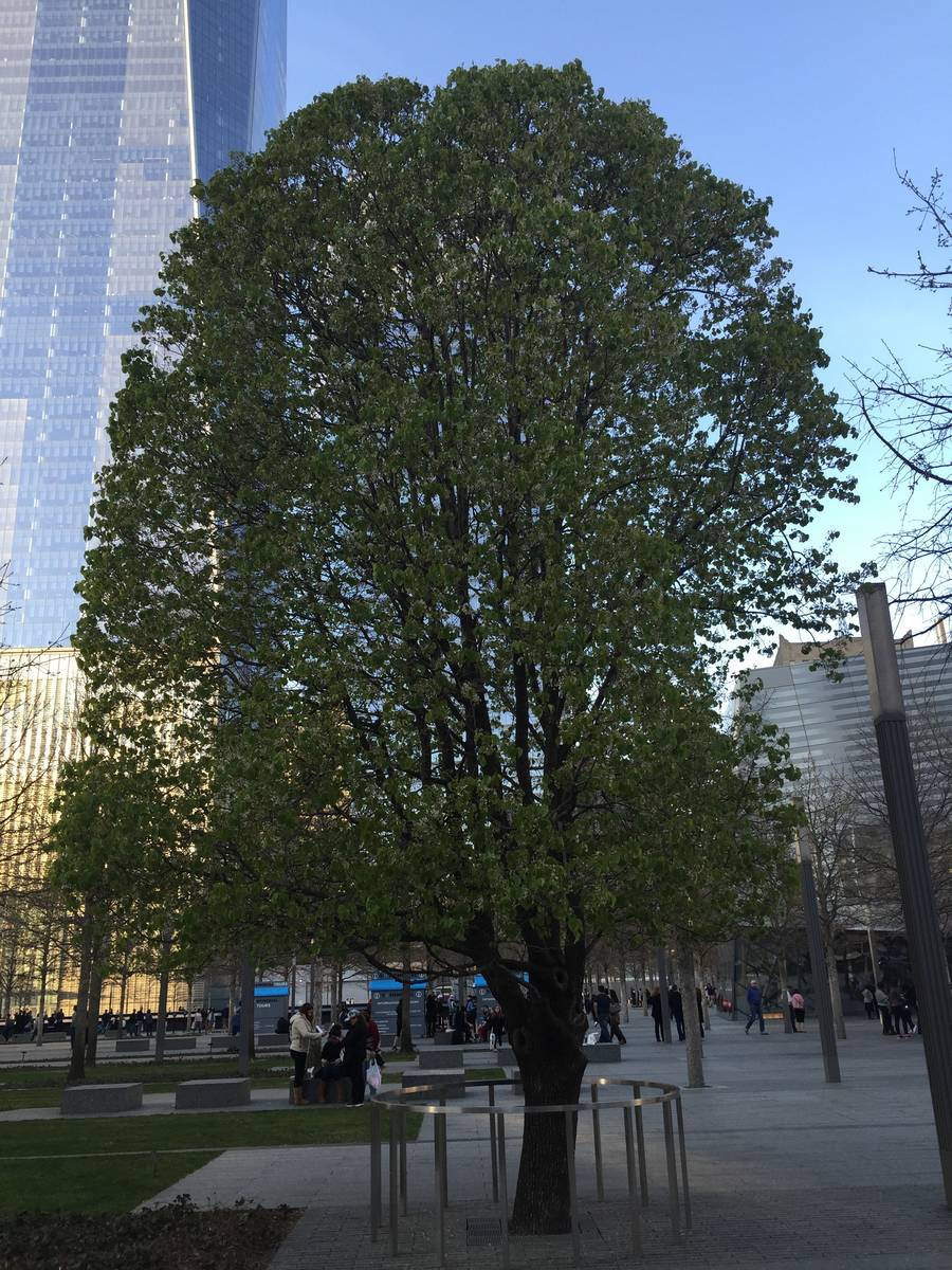The 9/11 Survivor Tree on April 17, 2016, at the Sept. 11 memorial in New York City. (Carri Gee ...