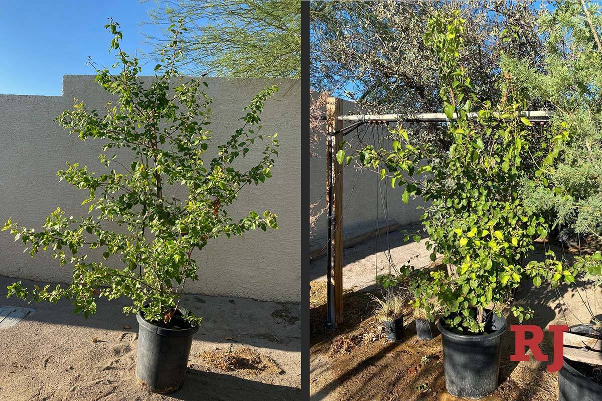 Seedlings from the Survivor Tree Seedling Program, a year after being received at the city of L ...