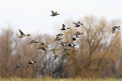 A mixed bag of ducks takes flight at one of America's national wildlife refuges. Nevada&#1 ...