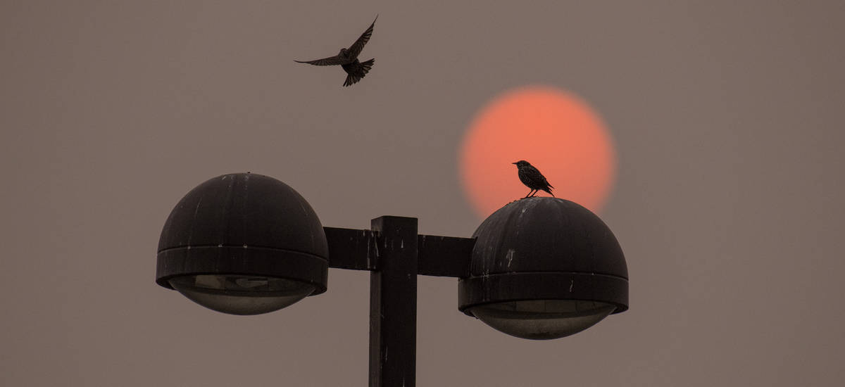 As the red sun colored by Western wildfires rises, a bird joins another on top of a light post ...