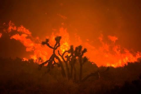 The Bobcat Fire burns behind a Joshua tree in Juniper Hills, Calif., Friday, Sept. 18, 2020. (A ...