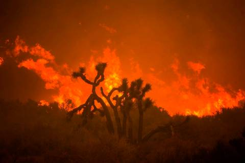 The Bobcat Fire burns behind a Joshua tree in Juniper Hills, Calif., Friday, Sept. 18, 2020. (A ...