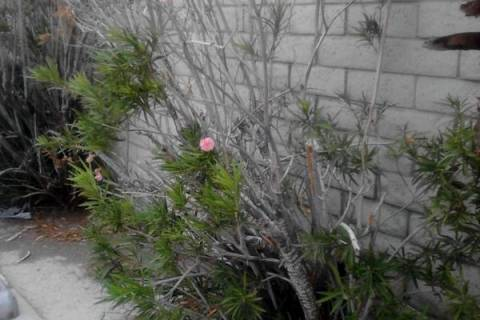 Oleander leaf scorch disease, although rare, is fatal for oleander with no cure in sight. (Bob ...
