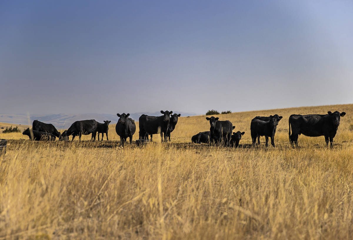 Cattle graze on some of the 30,000 acres at Rock Creek Cattle Company on Friday, Oct. 9, 2020, ...