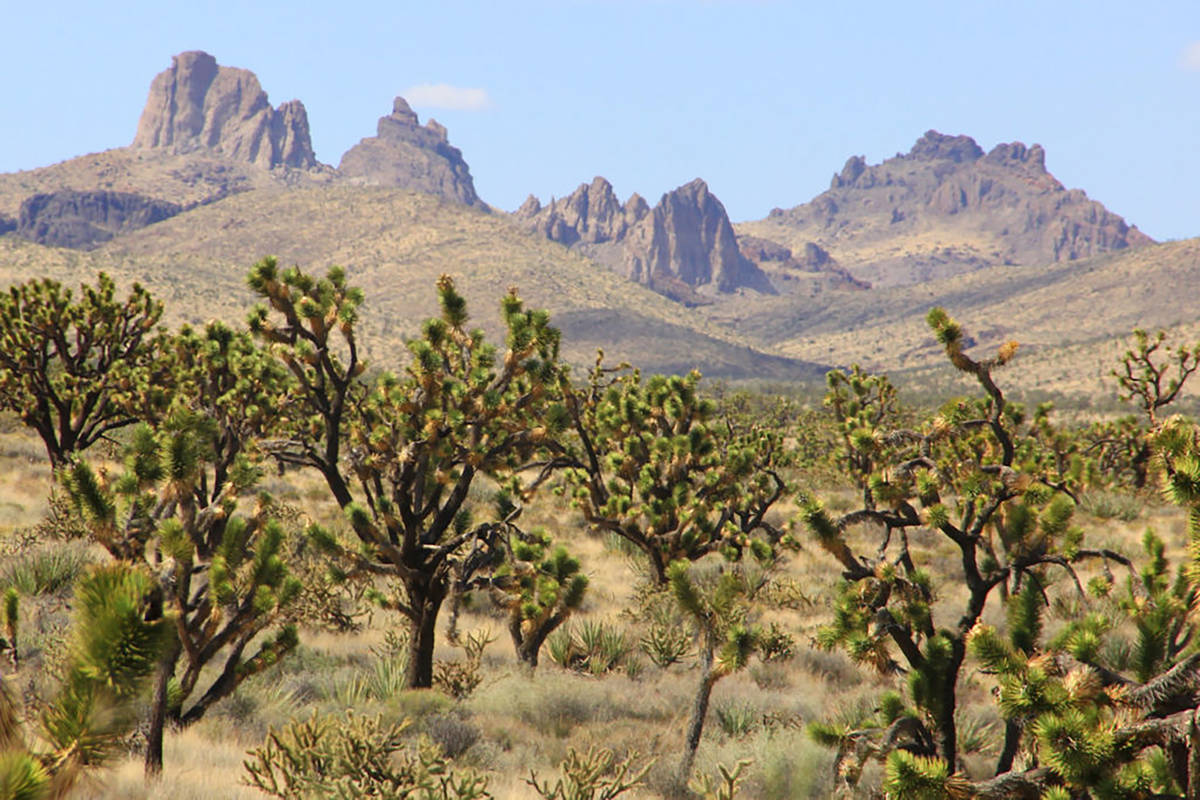 Castle Mountain looms over Joshua trees at the proposed site of Avi Kwa Ame National Monument. ...