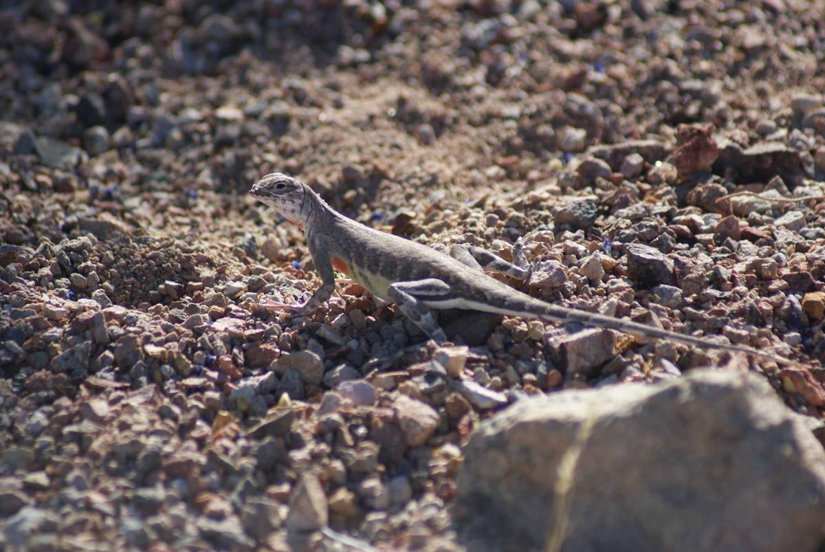 Zebra-tailed lizards run along the River Mountain Hiking Trail. (Natalie Burt/Las Vegas Review- ...