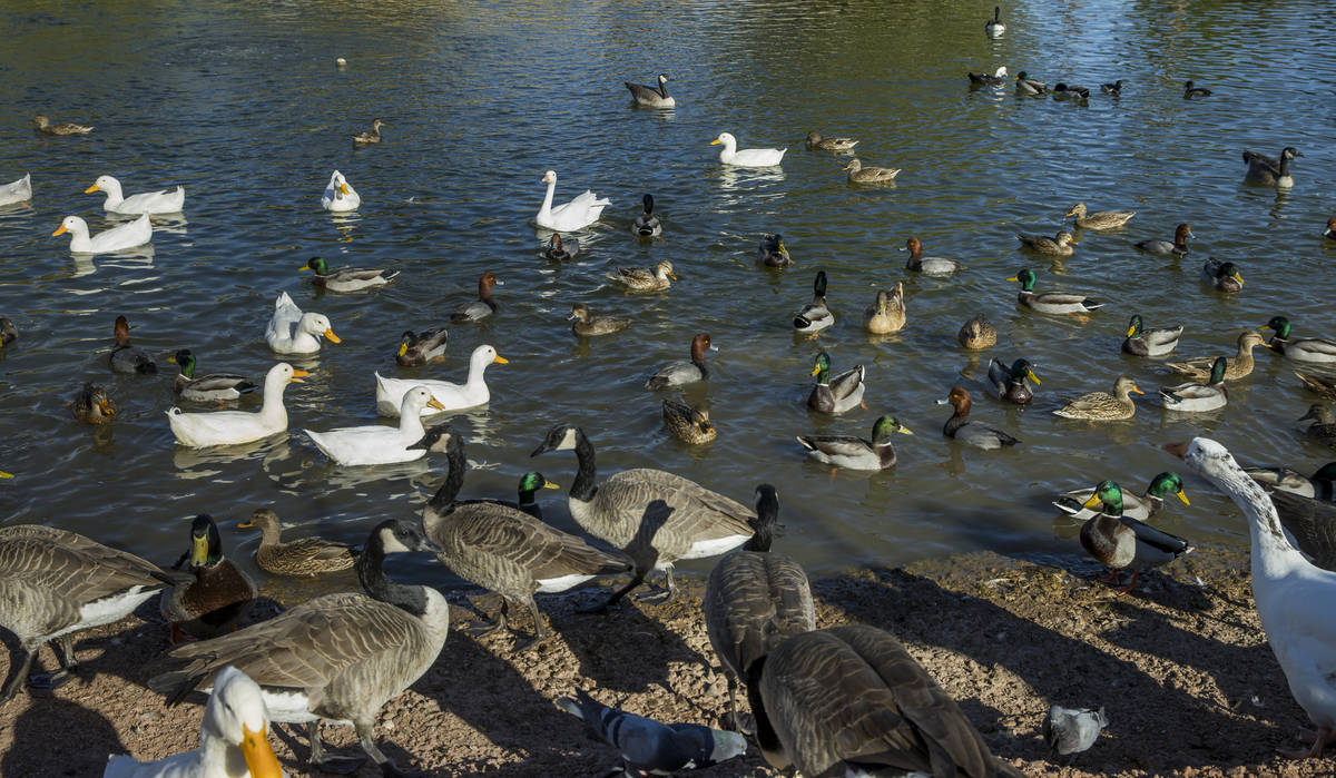 A wide variety of birds gather in the pond at Lorenzi Park on Thursday, Nov. 12, 2020, in Las V ...