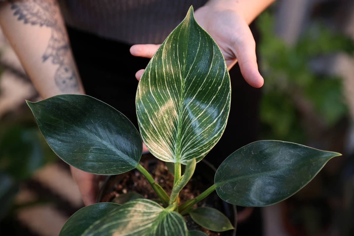 Carissa Beasley, owner of the LV Plant Collective store, shows a Philodendron birkin plant on s ...