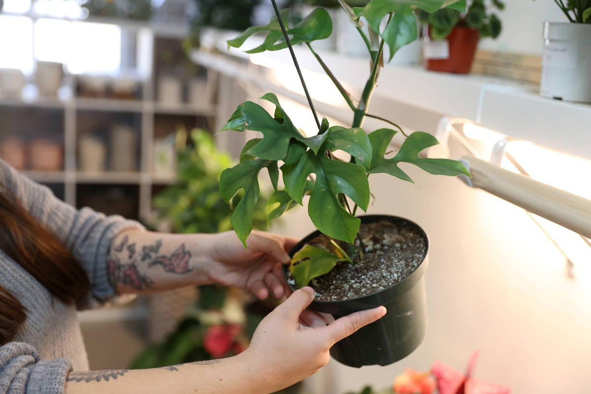 Carissa Beasley, owner of the LV Plant Collective store, shoes a rhaphidophora tetrasperma plan ...