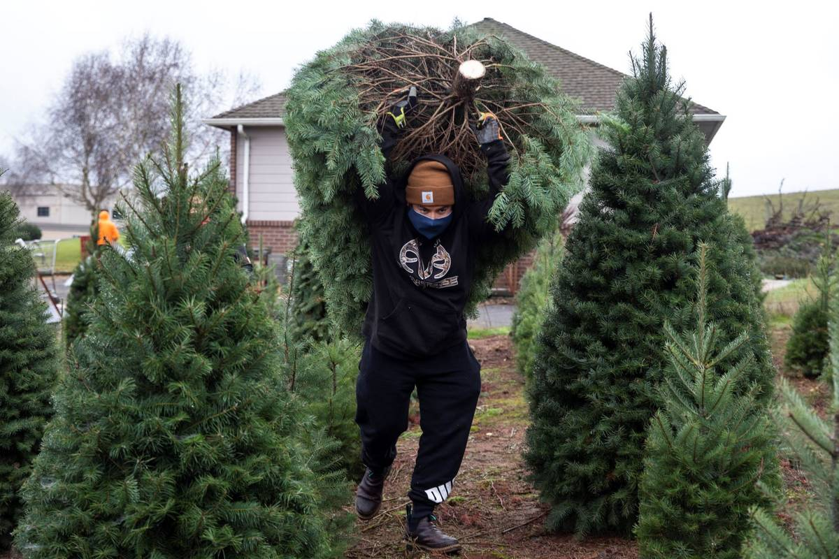 Francisco Villagrana carries a fresh cut Christmas tree at Sunnyview Christmas Tree farm on Sat ...