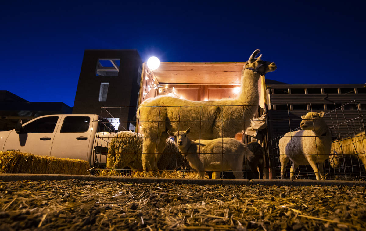 Llamas, sheep and other animals stand by to entertain families as the participate in a charity ...