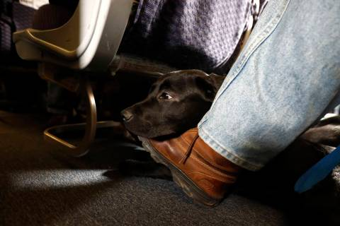 FILE - In this April 1, 2017, file photo, a service dog named Orlando rests on the foot of its ...