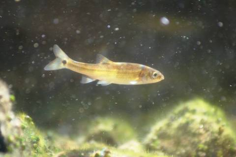 The Moapa dace's diet includes bits of plants and tiny animals floating in the 90-degree waters ...