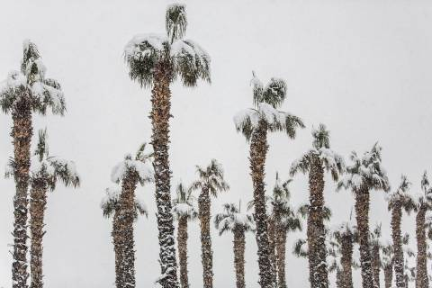Palm trees are blanketed in snow near the Summerlin Parkway eastbound on Thursday, Feb. 21, 201 ...
