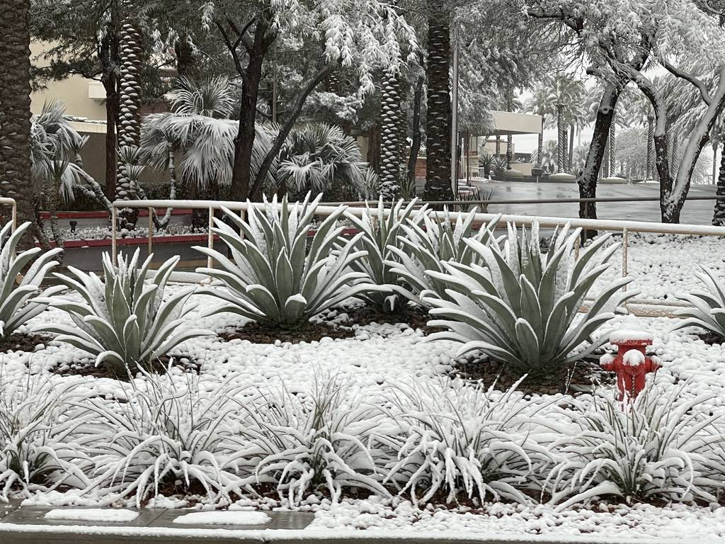Snow covers plants are seen along Pavilion Center Drive in the Summerlin neighborhood early in ...
