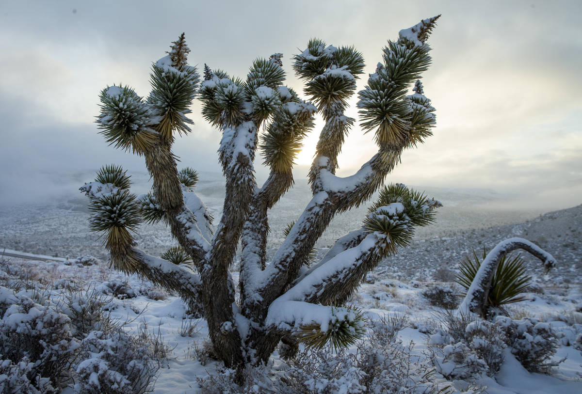 A Joshua tree is dusted in snow atop the overlook as the clouds break in the Red Rock Conservat ...