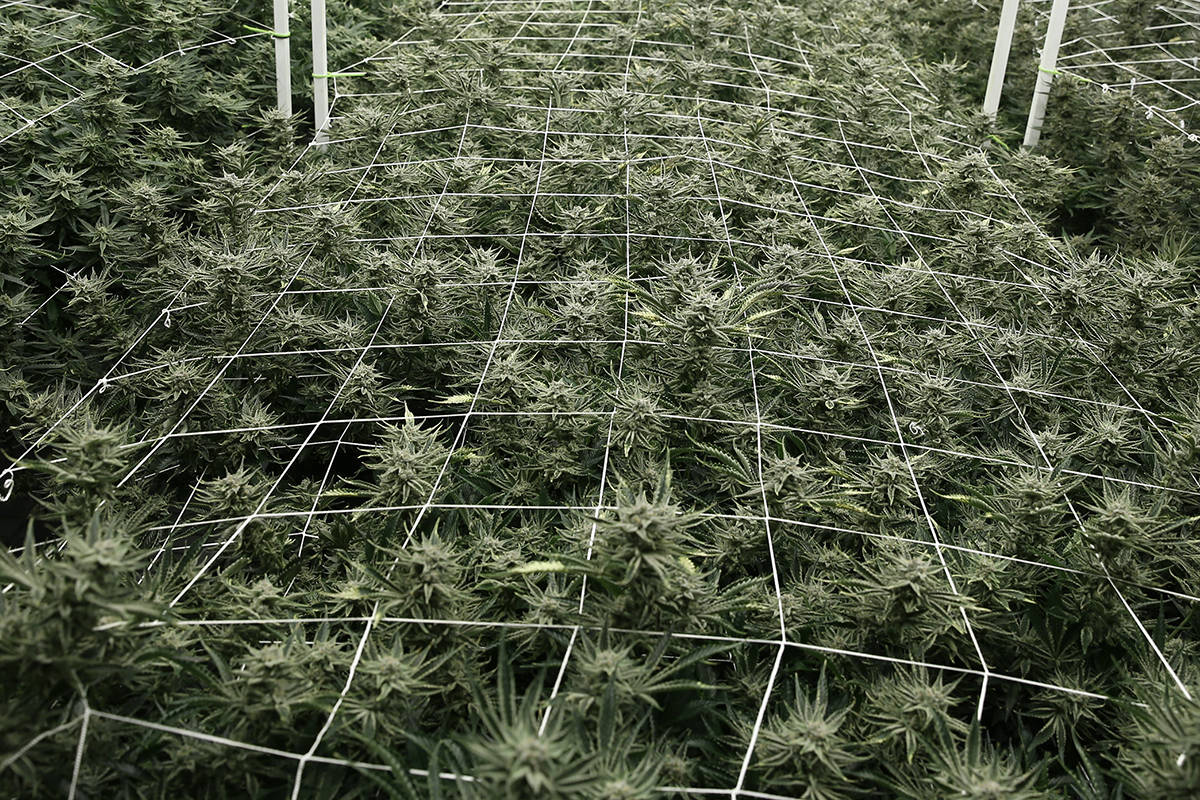Regulators accuse marijuana lab of manipulating microbial, THC results