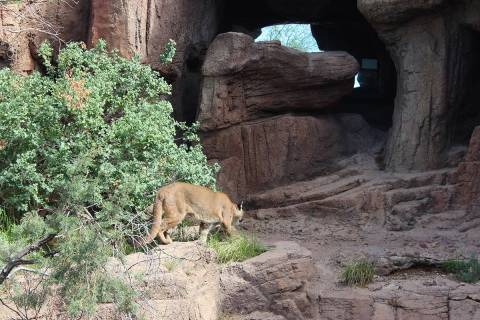 A mountain lion often can be spotted in the Mountain Woodland habitat area of the ...
