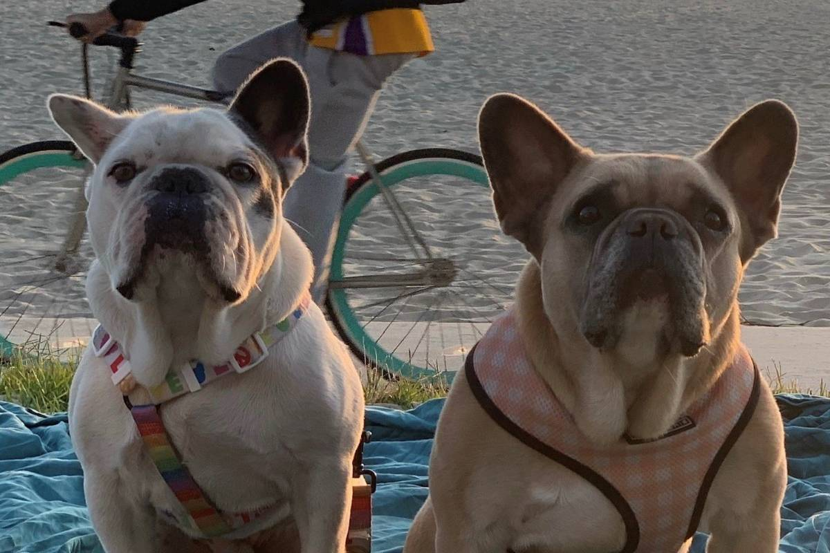 Lady Gaga's dogs Koji and Gustav are shown in the superstar's Twitter post from Friday, Feb. 26 ...