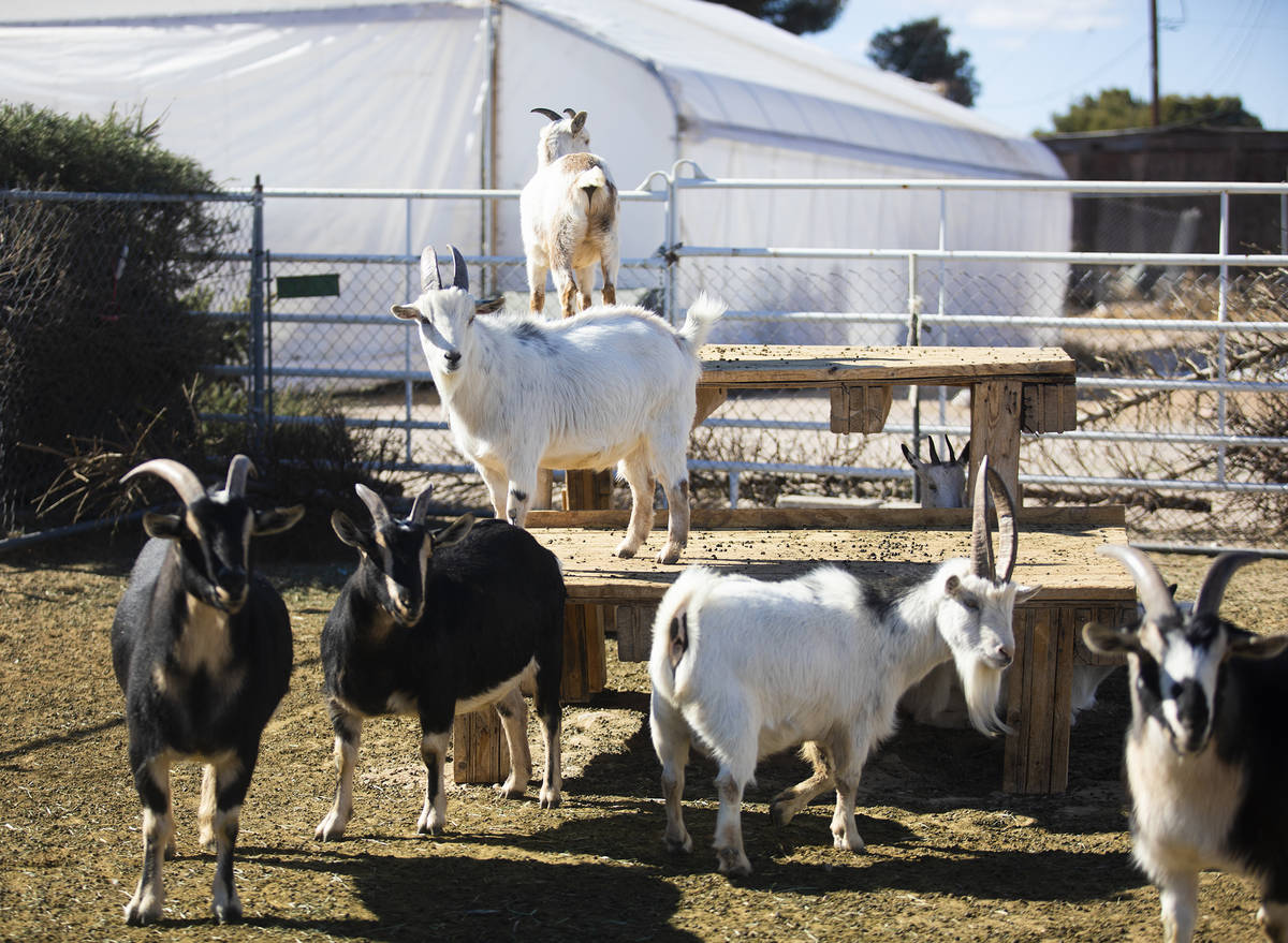 Goats at All Friends Animal Sanctuary in Las Vegas, Sunday, Jan. 24, 2021. In addition to provi ...