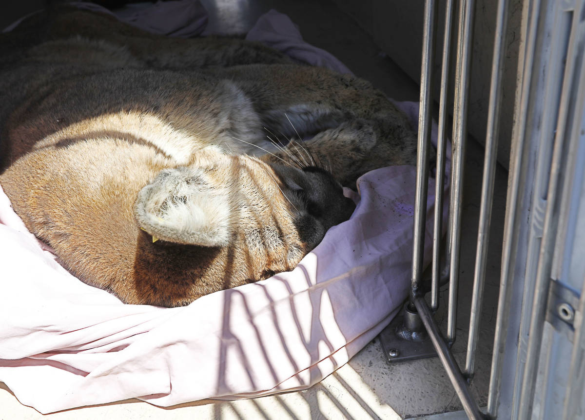 A mountain lion lies in a van after it was tranquilized and captured around Sweet Dreams Court ...