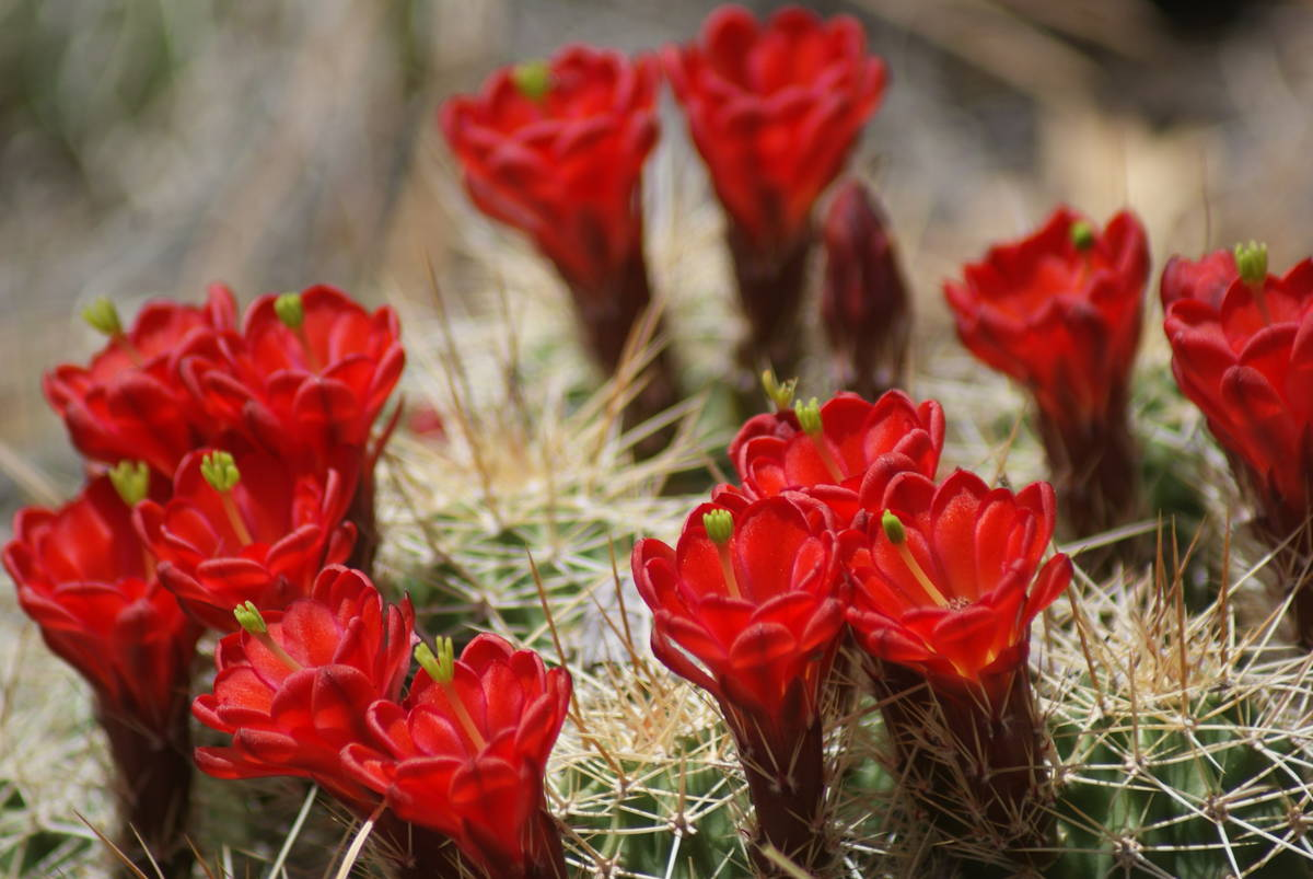 Mojave mound cactus, also known as claret cup cactus, bloom in their rocky home in Hualapai Mou ...