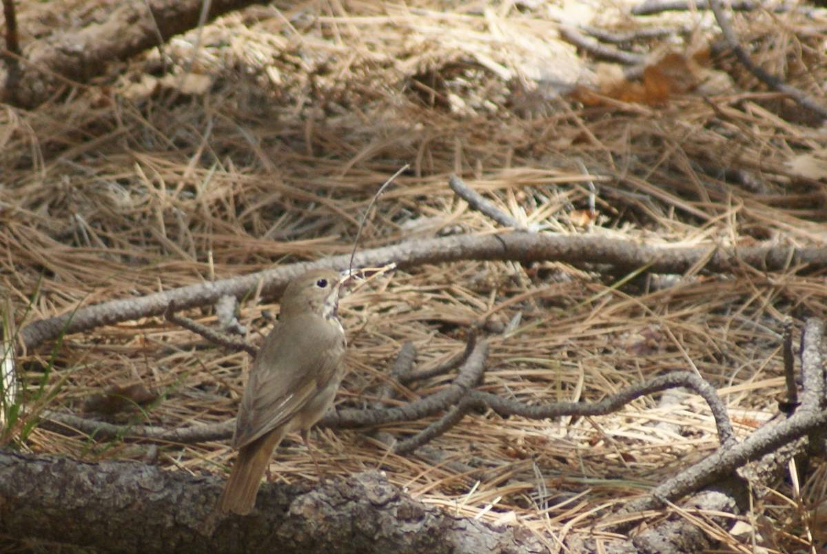 A hermit thrush holds in its beak a pine needle for nest-building material along the Potato Pat ...