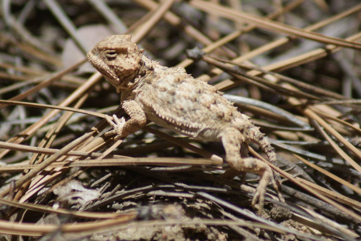 Juvenile horned lizard remains perfectly still in hopes of avoiding detection along the Potato ...