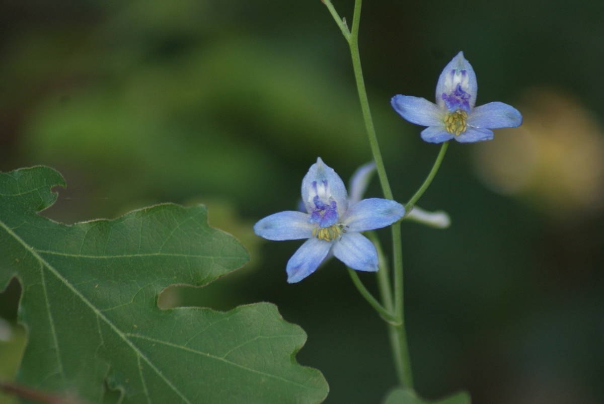 Larkspurs in blues and purples may be found along the trails of Hualapai Mountain Park near Kin ...