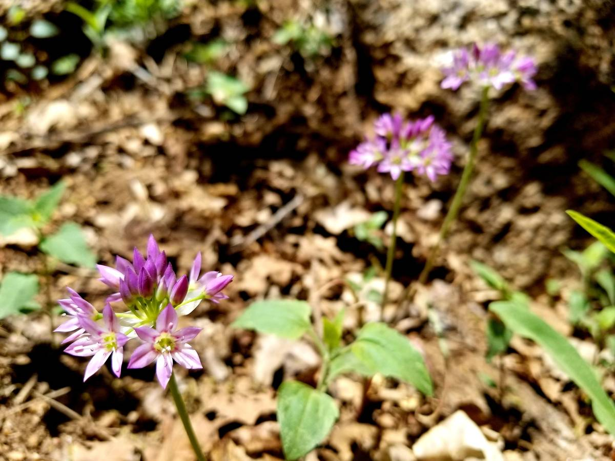 Flowering wild onions are among the trailside flowers found in Mohave County's Hualapai Mount ...