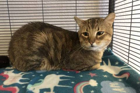 Want to adopt Billy, this handsome 4-year-old brown tabby? The Nevada SPCA hopes to find him an ...