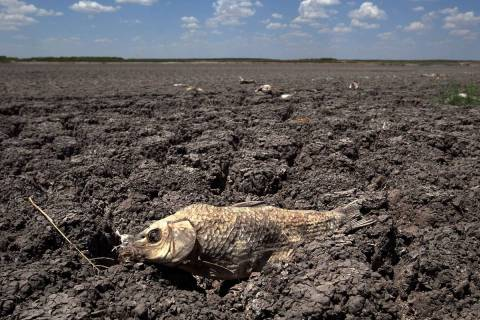 The remains of a carp are seen on the dry lake bed of O.C. Fisher Lake in San Angelo, Texas, in ...