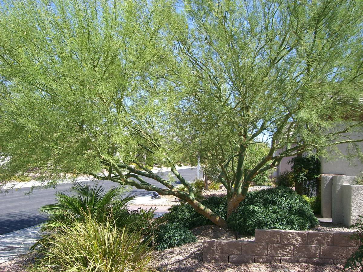 Palo verde is a Sonoran Desert native that will grow when irrigated and drops its leaves when w ...