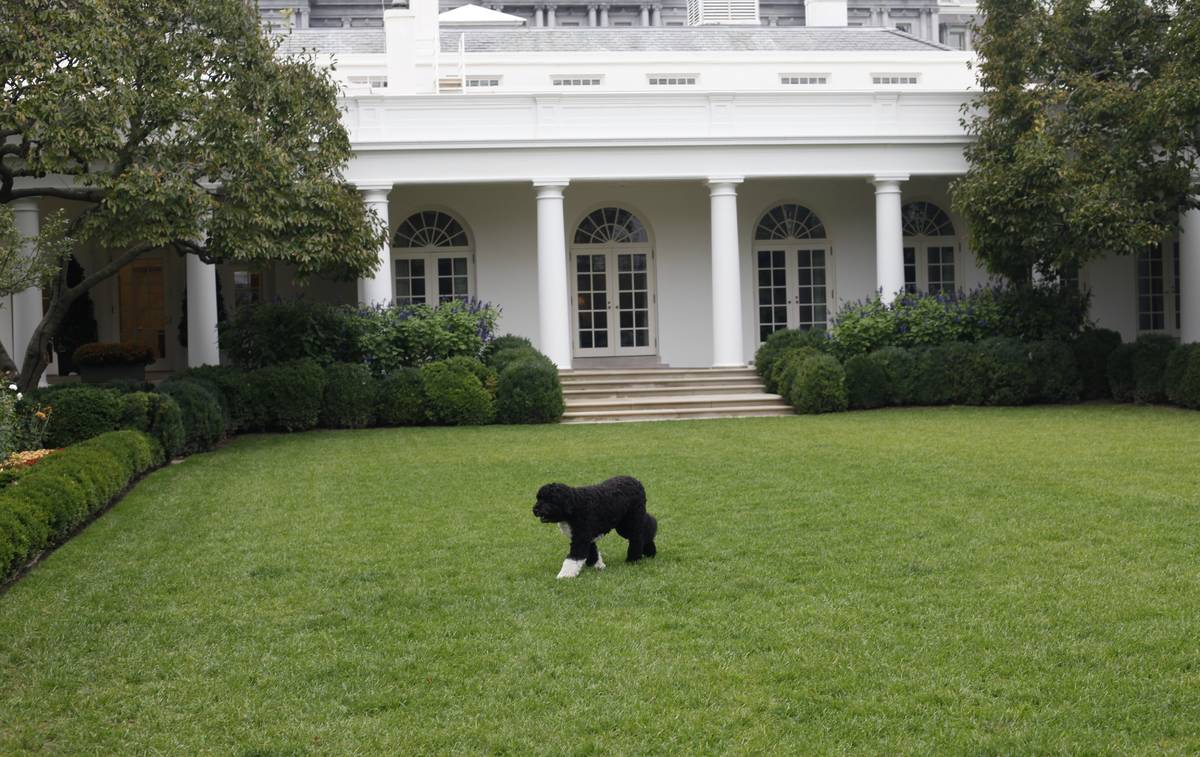 FILE - In this Oct. 11, 2011, file photo Bo, the Obama family dog, walks in the Rose Garden of ...